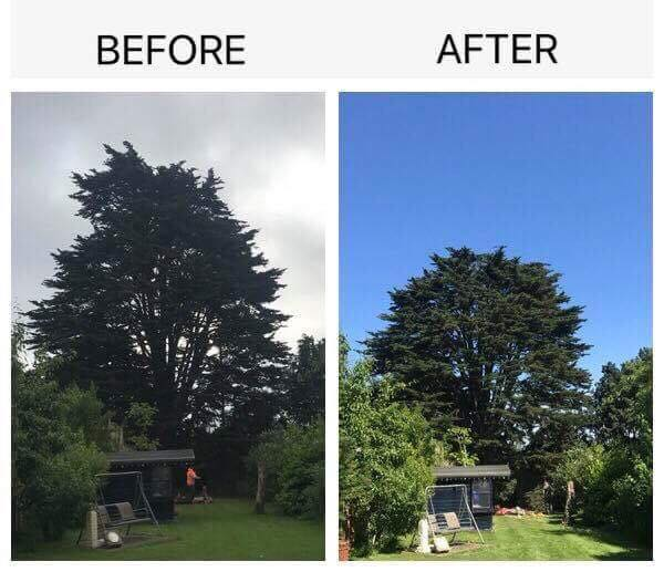 monterey cypress before and after
